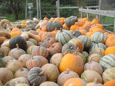 Pumpkins Quail Hill Farm