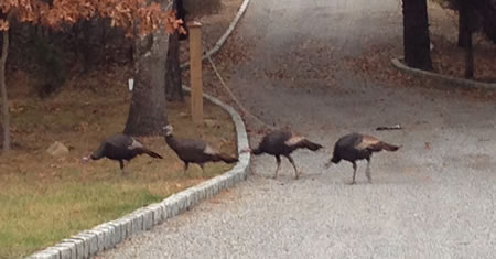 Hamptons Wild turkeys